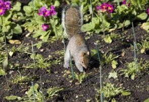 Squirrels in Garden