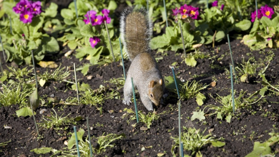 Squirrels in Garden