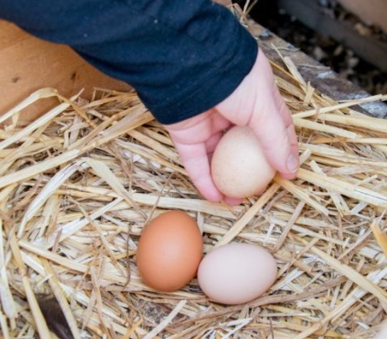 Collect Chicken Eggs