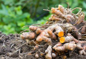Growing Turmeric