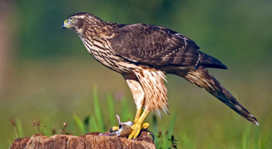 How to Protect Chickens from Hawks