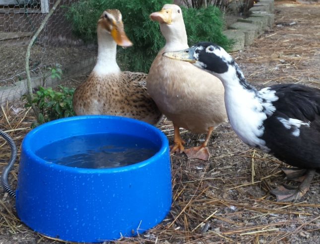 Chickens and Ducks Water Issue