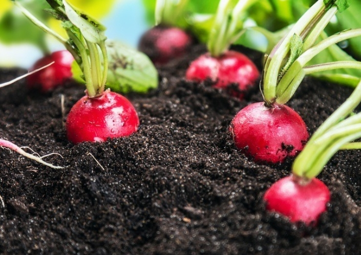 Store Radishes by Keeping in a Dirt