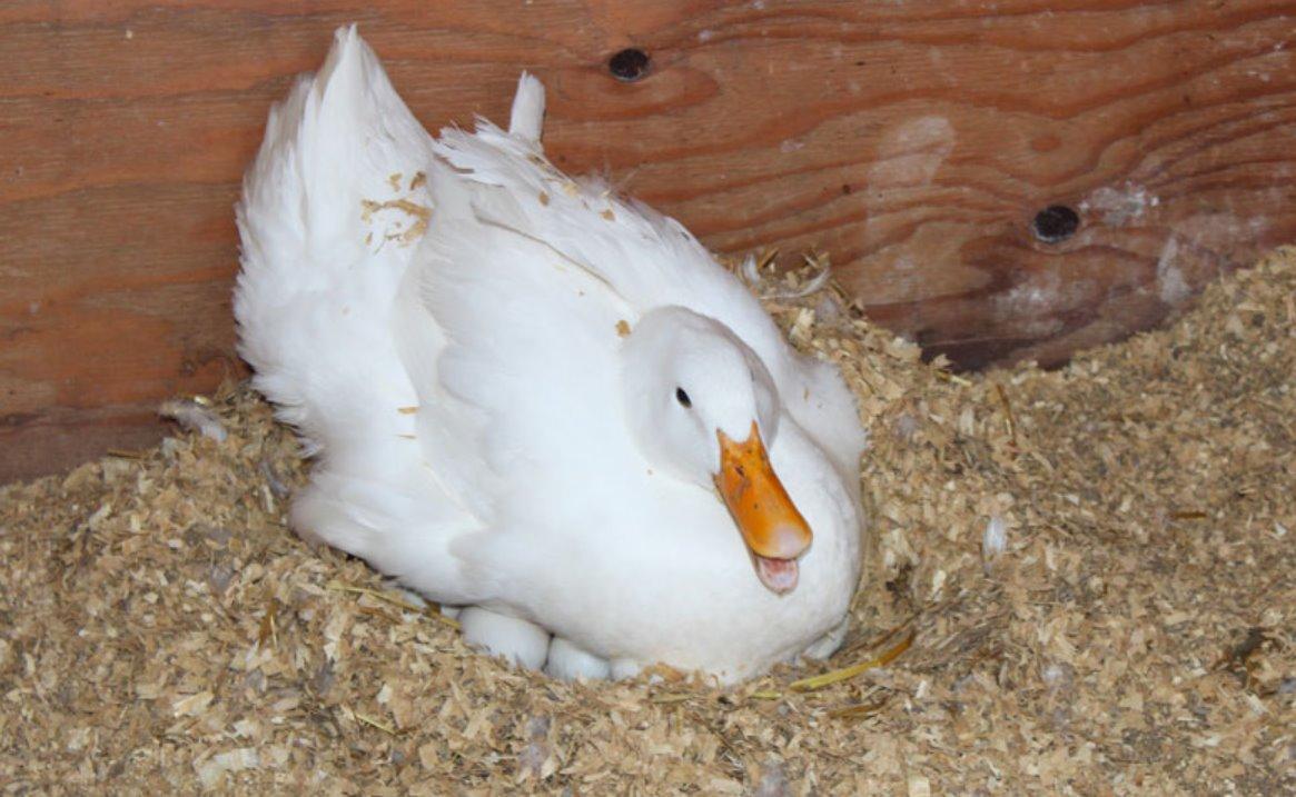 Best Ducks for Eggs