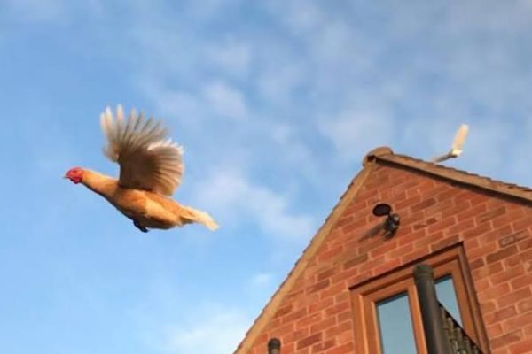 Can Chickens Fly