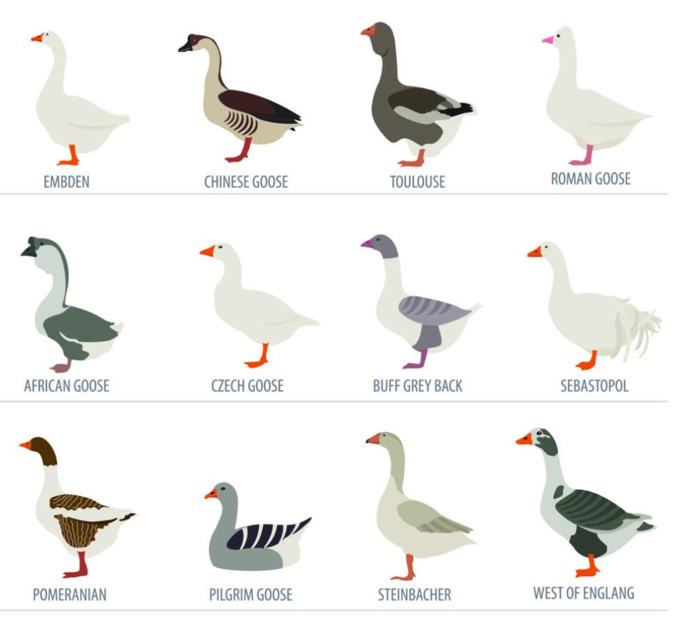 Characteristics of Goose