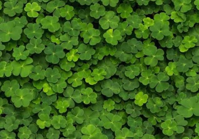 What Do Sheep Eat: Clover