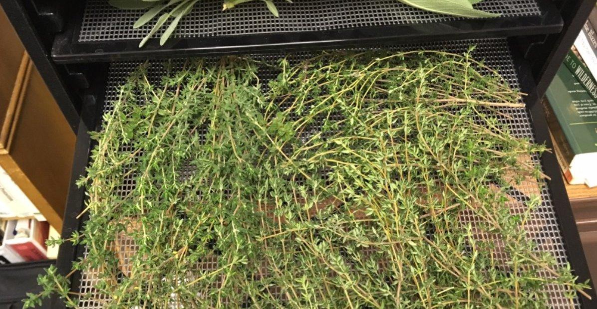 Dry Oregano Leaves Using Dehydrator