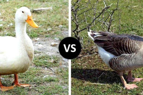Goose vs Duck
