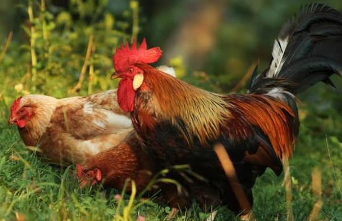 Hen vs Chicken: Gender-Specific