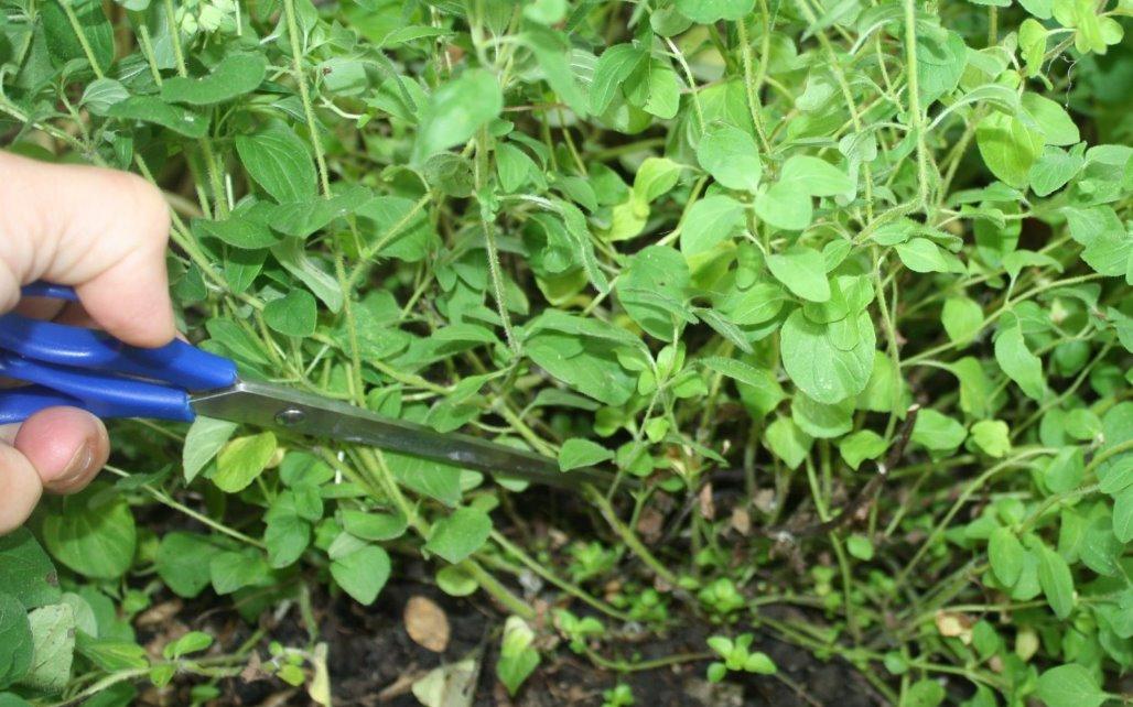 Methods for Harvesting Oregano