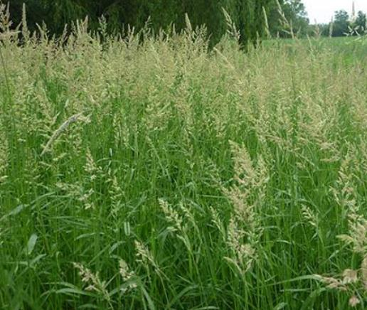 What Do Sheep Eat: Reed Canarygrass