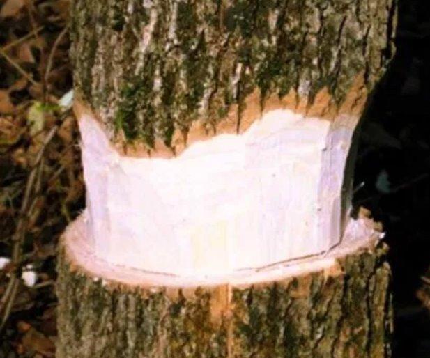 kill a tree with girdling