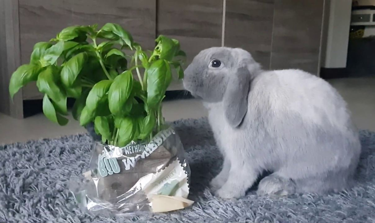 Can Rabbits Eat Basil