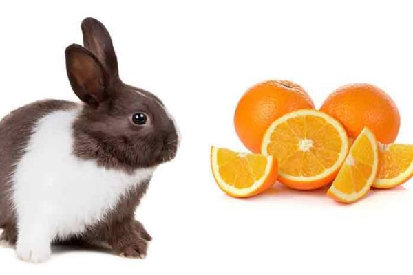 Can Rabbits Eat Oranges