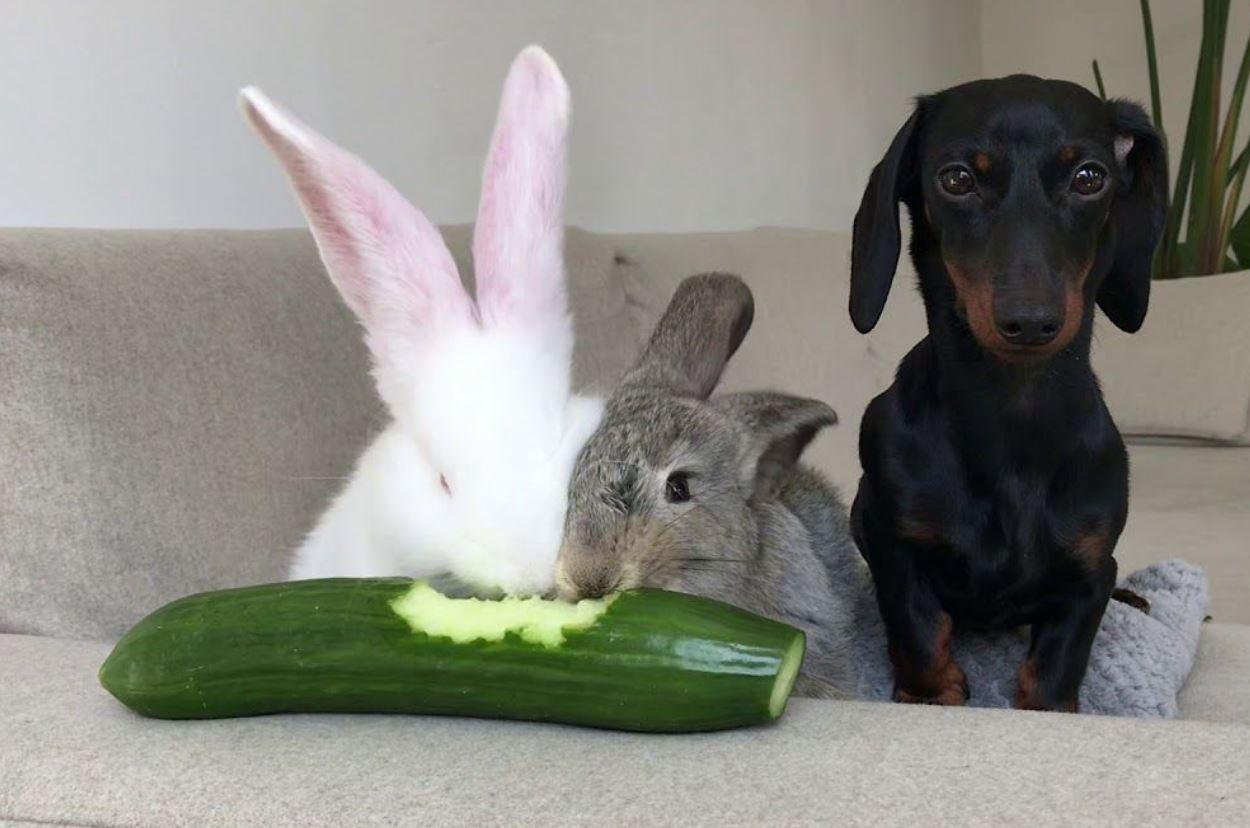 Rabbit Eat Cucumber