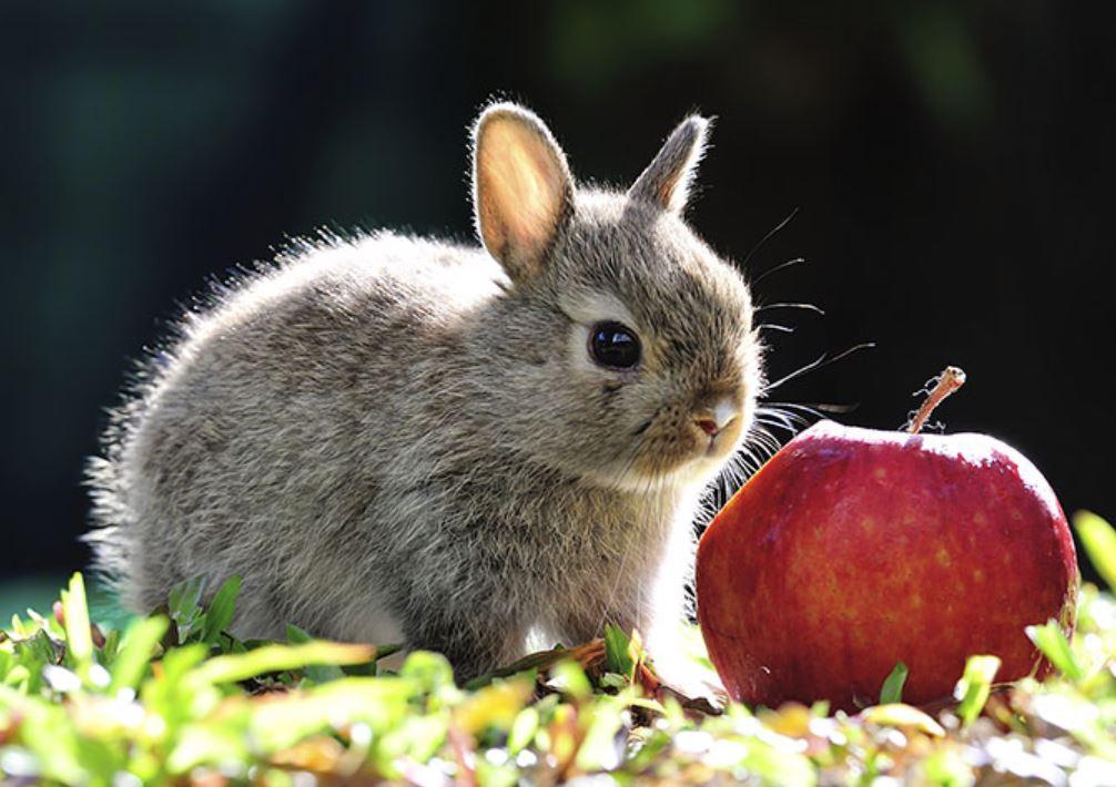 Rabbit Eat Fruit